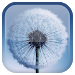 Download Dandelion Live Wallpaper  APK