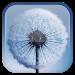 Download Dandelion Live Wallpaper  APK