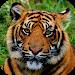 Download Tiger Wallpapers 1.0 APK